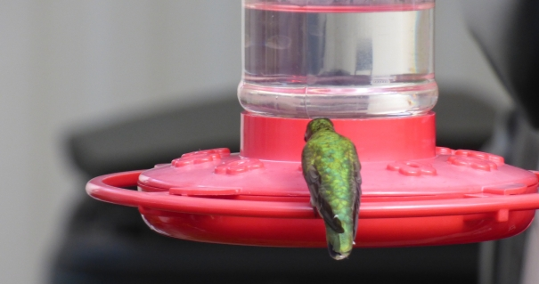 Ruby-throated Hummingbird nectaring at a sugar water feeder.