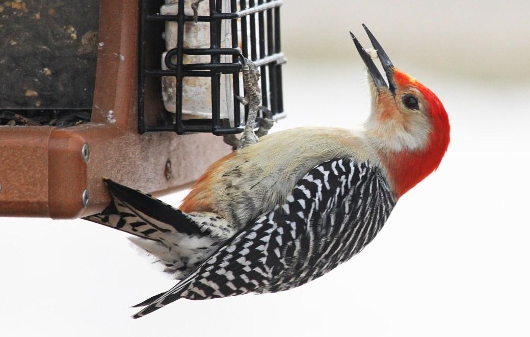 001 Red-bellied Woodpecker-1.jpg