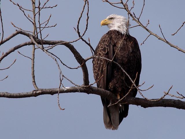 bald-eagle-570379_640
