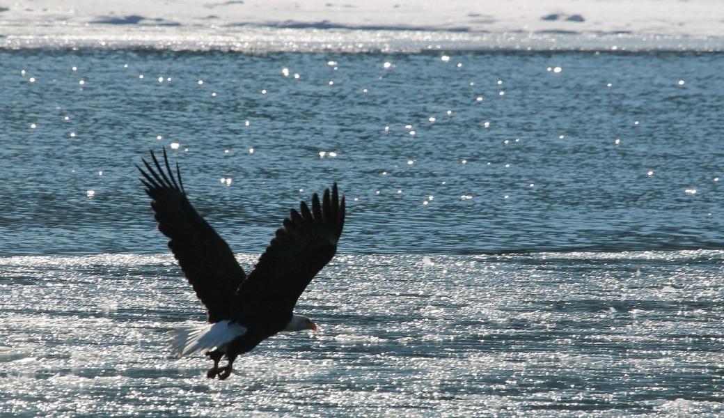 bald-eagle-896906_1280