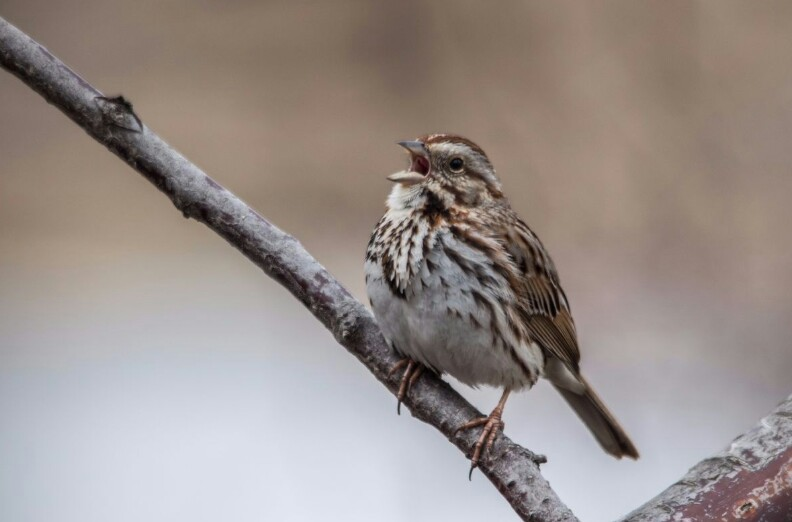 song sparrow image