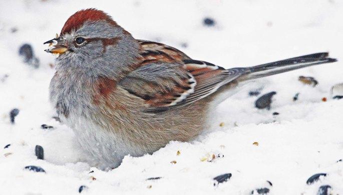 3272 American Tree Sparrow SHARPENED